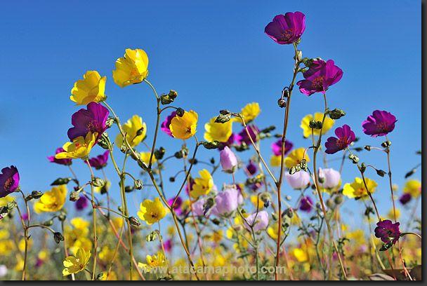 Cistanthe longiscapa (yellow) Cistanthe litoralis (purple) coastal desert, Atacama, Chile