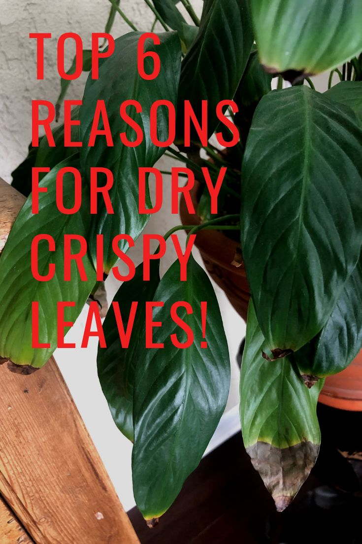 Are Your Plant Leaves Turning Brown And Crispy Plant Leaves Turning Plant Leaves Turning Brown Plant Leaves
