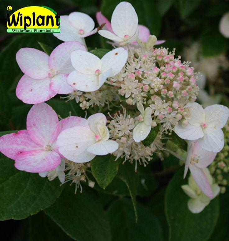Hydrangea pan. 'Dart's Little Dot', syrenhortensia. Vita blommor som ganska snabbt får en rosa nyans. Låg. Höjd: 0,8-1 m.