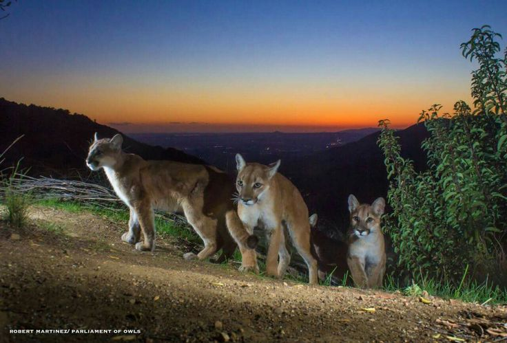 PUMAS  Robert Martinez (Parliament of Owls) set several camera traps in likely areas visited by mountain lions in the Angeles National Forest 27 miles west of Los Angeles. His cameras captured stunning video of a mountain lion mother quietly calling out to her three cubs.