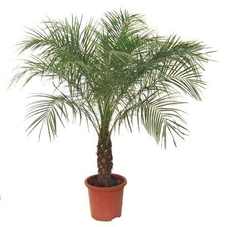1000 id es sur le th me palmier phoenix sur pinterest palmier washingtonia - Depollution par les plantes ...