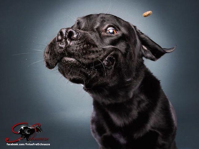 Забавные фотографии собак, ловящих лакомства (9)