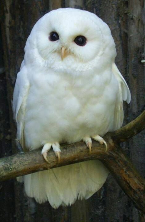 What a beautiful white owl