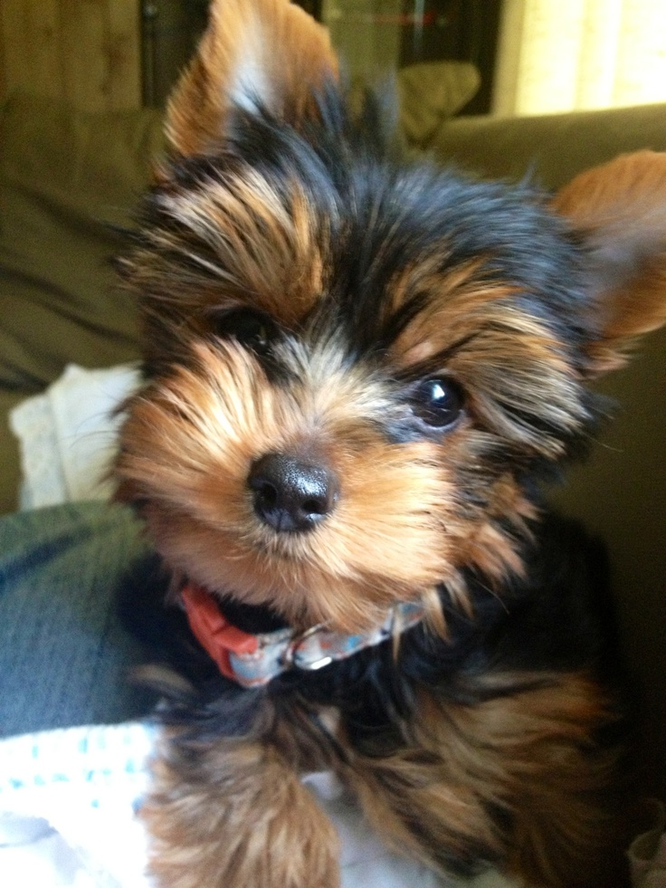 1000+ images about Puppies on Pinterest | Yorkshire ...