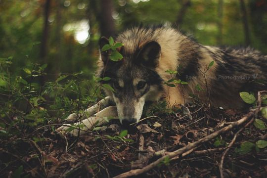 Wolf taking a rest!