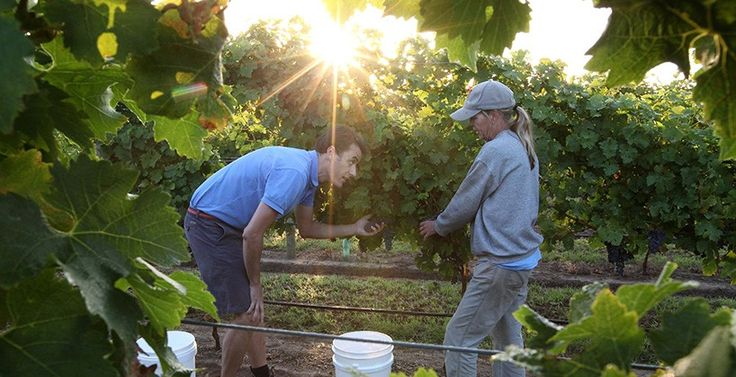 Wallington // Oakdene Vineyards