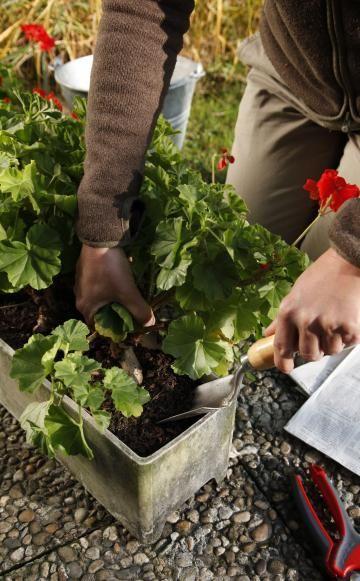 Geranien sind eigentlich mehrjährig, werden aber oft schon nach einer Gartensaison entsorgt. Durch eine Überwinterung sparen Sie sich den Neukauf im Frühling
