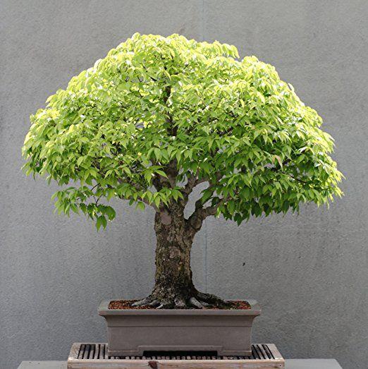 15 Seeds Zelkova Serrata (Japanese Zelkova) Bonsai