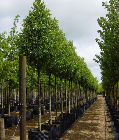 Pyrus calleryana Chanticleer - Callery Pear An upright, conical form ideal for urban environments