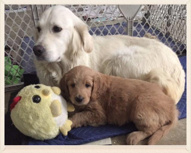 English Golden Retriever Puppies For Sale Golden Retriever White