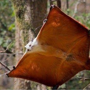 Você já viu um esquilo voador?