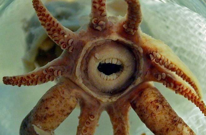 Promachoteuthis sulcus, lo straordinario e curiosissimo polpo dall'inquietante bocca simile a quella umana...