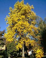 Indiana State Tree, Yellow Poplar
