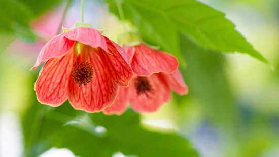 Chinese lanterns are named after their delicate petal shape. Image: Thinkstock