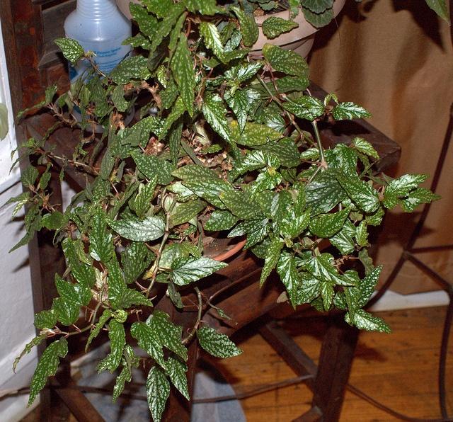 nice begonia!   Garden Love ♥ ♥   Pinterest   Nice and ...