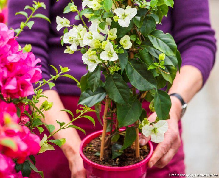 Le bougainvillier : bien le choisir et l'entretenir   Bougainvillier, Photo jardin, Joli jardin