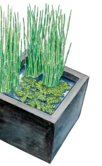 Moderner Mini-Teich: Schon das quadratische Gefäß aus anthrazitfarbenem Kunststoff, wahlweise aus Metall, sorgt für eine formale Wirkung. Der schlanke, blütenlose Winter-Schachtelhalm (Equisetum hyemale var. robustum) sowie grüner Schwimmfarn (Salvinia natans) unterstreichen diesen Effekt. Binsen (Juncus) oder Teichsimsen (Schoenoplectus) mit ihren strukturstarken Halmen wären ebenfalls geeignete Kandidaten