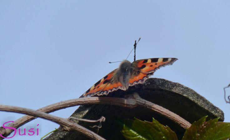 Tiere Im Juni Kleiner Fuchs Schmetterling