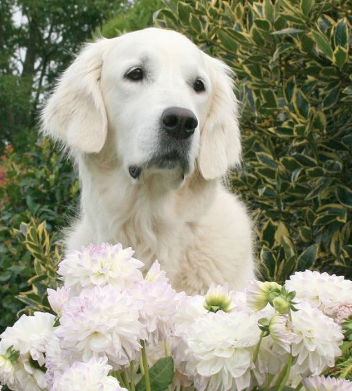 243 best English Cream Golden Retrievers images on ...