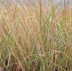 Anemanthele lessoniana - pheasant's tail grass (syn. Stipa arundinacea) 1mx1m