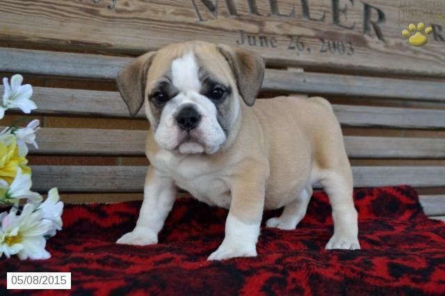 English Bulldog/Puggle Puppy for Sale in Ohio