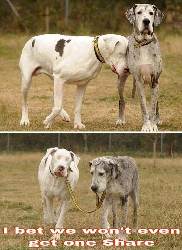 We Should All Be Those Tolerant And Loyal Great Dane Lap Dogs