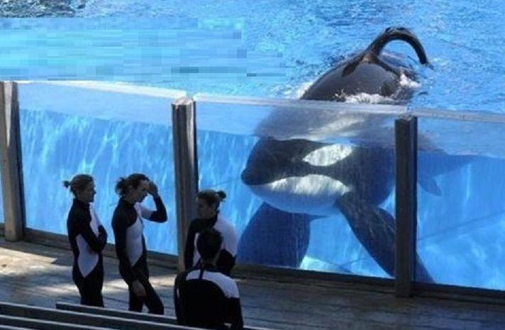 mort de orque Tilikum  TilikumIl est avec des sentiments mitigés que nous signalons la mort de Tilikum qui sont morts dans les premières heures de ce matin, à SeaWorld, Orlando.