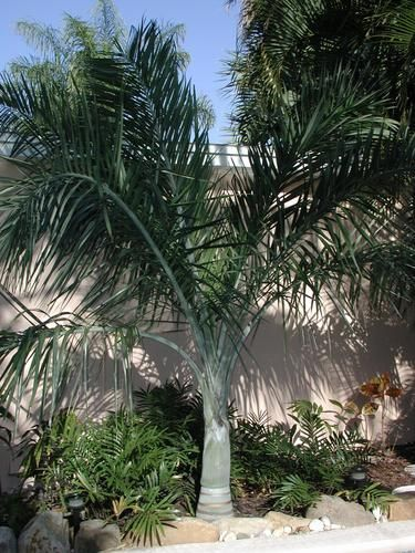 1000 Images About Palms On Pinterest Gardens Foxtail