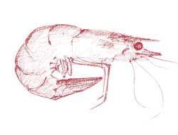 Crevettes à l antillaise