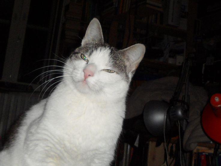 Zeus a circa 3 anni con il classico sguardo da micione che osserva l'universo, con la sua prospettiva.