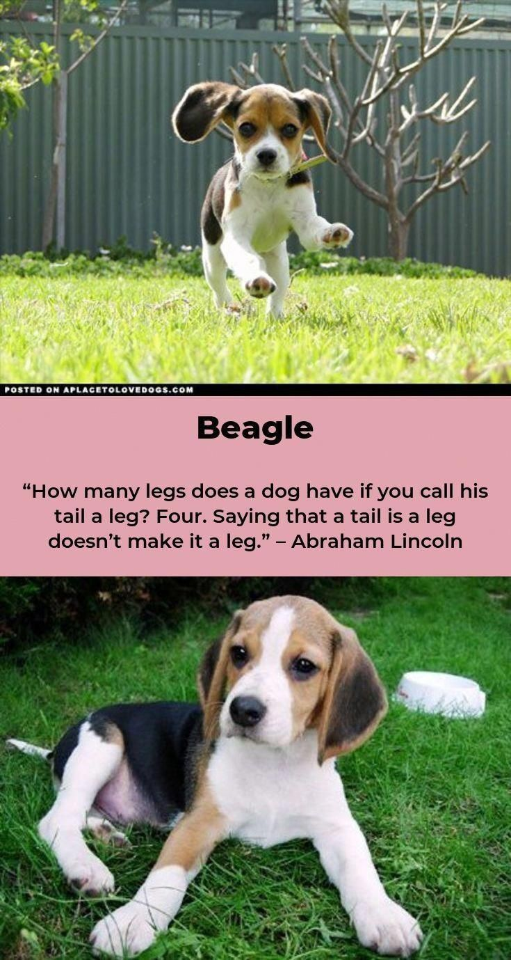 All About The Beagle Pup And Kids Beaglemasters Beaglehub