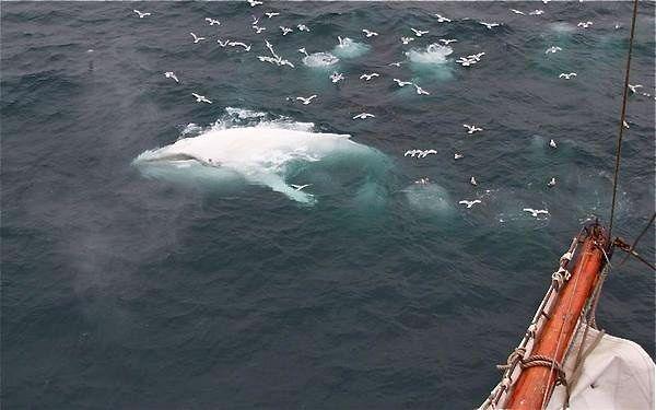 white humpback whale