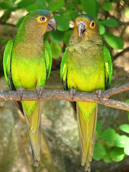 Two green parrots at the Laberinto Tropical on Margarita Island, Venezuela.