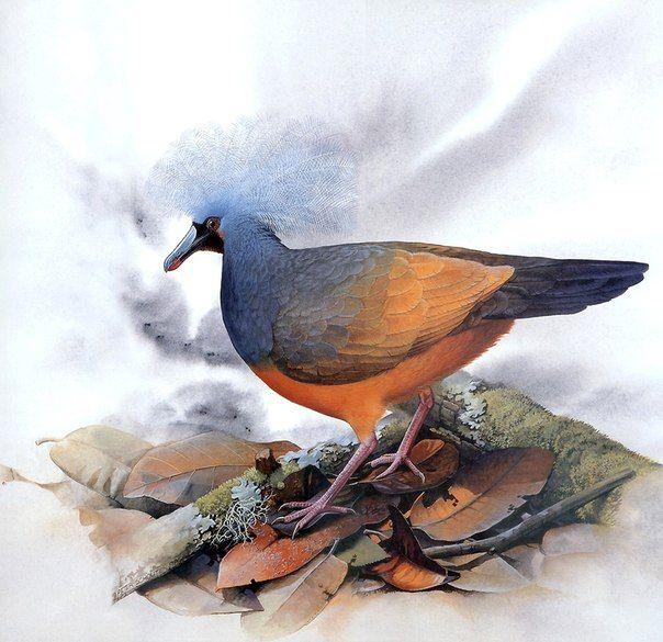Хохлатый толстоклювый голубь (Microgoura meeki), о. Шуазель (Соломоновы о-ва). Исчез в первой половине XX века по причине истребления завезенными на остров кошками и собаками.