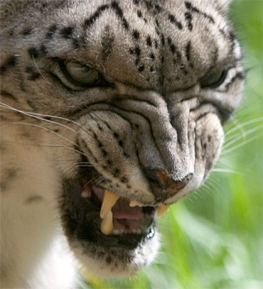 Angry Snow Leopard baring its vicious canines. The snow leopards are generally non-aggressive cats but like any other threatened creature, they may only attack to defend themselves or their cubs.