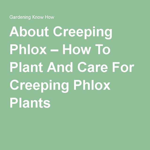 About Creeping Phlox – How To Plant And Care For Creeping Phlox Plants