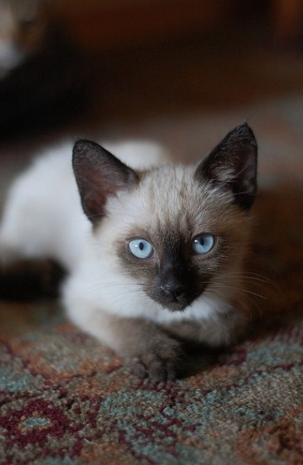 Looks like our cat Puddin' when I was in high school. She was a great cat.: Siam Cat, Beautiful Cat, Kitty Cat, Animal 3,  Siamese, Siam Kittens, Adorable Kittens Cat, Siamese Cat, Bengal Siam