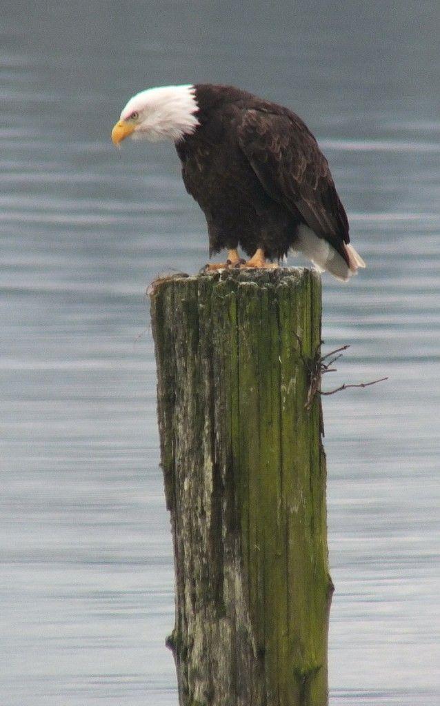 Bald eagle on dock post near Comox - B.C.