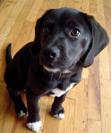 Samson the Beagle Mix