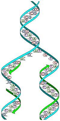 """El proceso de replicación de ADN es el mecanismo que permite al ADN duplicarse (es decir, sintetizar una copia idéntica). De esta manera de una molécula de ADN única, se obtienen dos o más """"réplicas"""" de la primera. Esta duplicación del material genético se produce de acuerdo con un mecanismo semiconservador, lo que indica que los dos polímeros complementarias del ADN original, al separarse, sirven de molde cada una para la síntesis de una nueva cadena complementaria de la cadena molde, de…"""