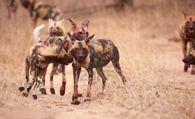 Pack van Afrikaanse wilde hond (Lycaon pictus), zeer bedreigde soorten van Afrika