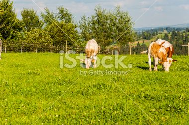 Grazing young cattle royalty-free stock photo