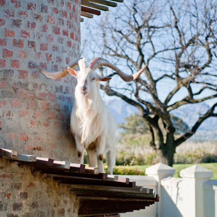 See the famous goats at the Fairview goat tower – the namesake for the Goats-do-Roam range of wines