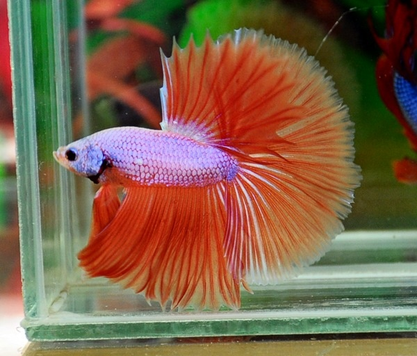 Pink orange dragon looks lavender to me bettas and for Betta fish friends