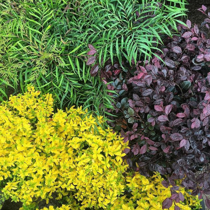 """Our @sunsetplants playing nicely (and loving this rain) in our new @cornerstonesonoma garden. Mahonia 'Soft Caress' Loropetalum 'Purple Pixie"""" and Ligustrum 'Sunshine'. #sunsettestgarden by sunsetmag from Instagram"""