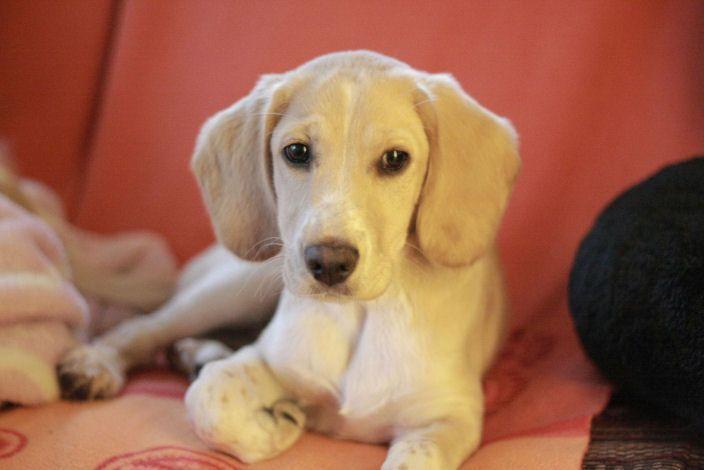beagle cocker spaniel mix | Merkmale: ein kleiner, lebendiger WirbelwindInformationen: geb. am 01 ...