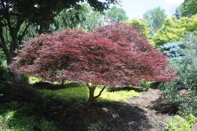 Acer palmatum dissectum Tamukeyama:  Weeping Japanese Maple Tamukeyama has long, cascading branches that produce spring foliage wich is bright crimson and summer foliage that turns dark, purple-red and retains its color even in hot, humid summers. In fall it changes to scarlet.