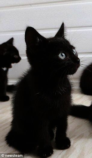 Cats And Kittens Breeds Cats And Kittens For Sale On Gumtree