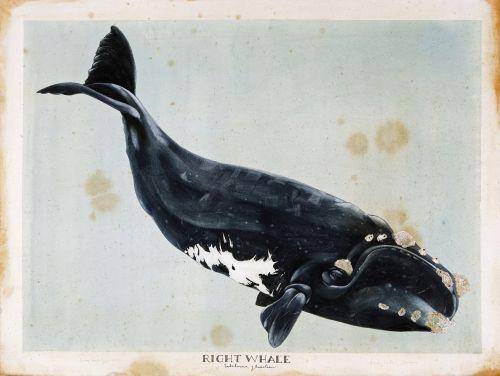 right whale by scott kelley