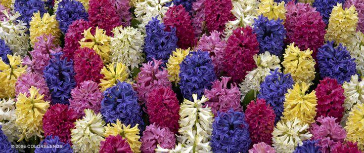"A photograph of the the spring flowering Hyacinth Bulbs cultivar ""Hyacinth Jambalaya"""